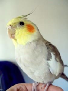 cockatiel, bird, pet bird, mary marcus, mary marcus blog, manulita