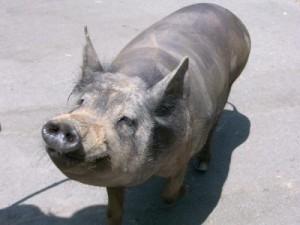 pig, rocky, gray pig, fat pig, pork, vegetarian, whole foods, trader joes